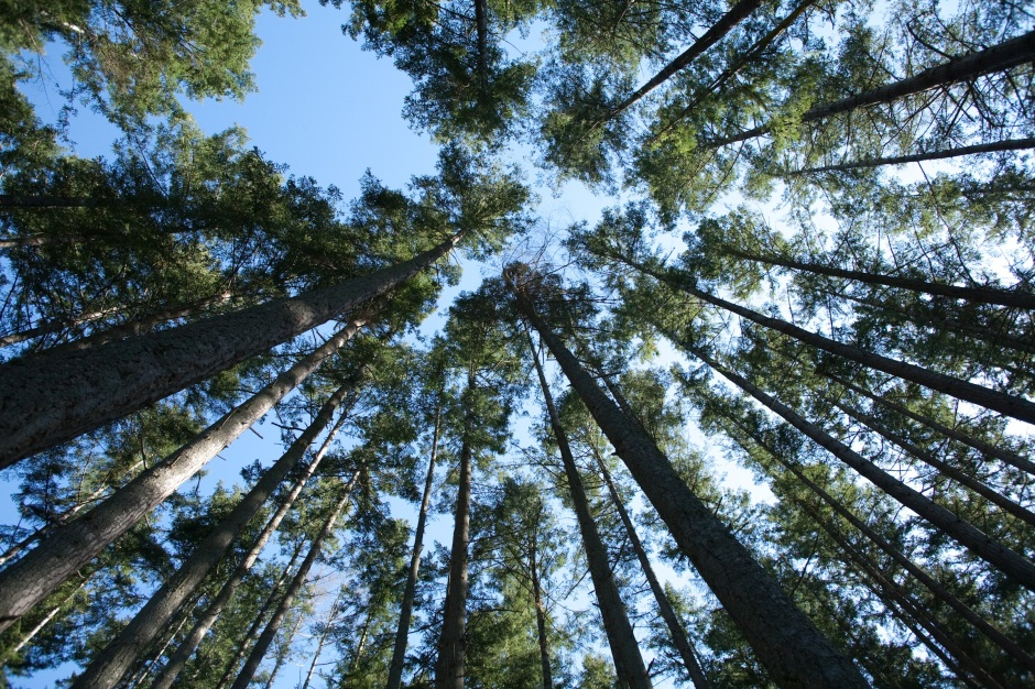 The trees on the Trillium property are different ages. Here are some of the older ones. (c) 2010 Kevin Horan